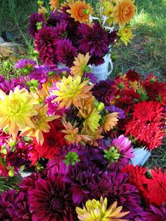 Dahlias-love the bright mixture of colors!