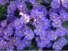 """Aster dumosus """" Augenweide """" - astra,hvězdnice Zahradnictví Krulichovi - zahradnictví, květinářství, trvalky, skalničky, bylinky a koření Aster, Butterflies, Garden Ideas, Plants, Butterfly, Landscaping Ideas, Plant, Backyard Ideas, Planets"""