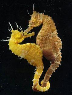 Seahorses♥♥