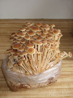 Grow Easily GOLDEN ENOKITAKE Mushrooms All Year Round! Buy Now Flammulina velutipes Mushroom Spawn and Get Free Mushroom Growing Manual and International Shipping!