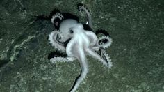 Octopus eyes and skin both hold ability to see - http://scienceblog.com/78502/octopus-eyes-skin-hold-ability/