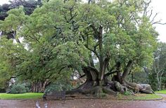 Ombu (Phytolacca dioica), Albert Park, Auckland city