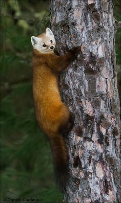 """beautiful-wildlife: """"Pine Marten Climbing A Tree by Daniel Cadieux """" Scary Animals, Animals And Pets, Wild Animals, Beautiful Creatures, Animals Beautiful, Pine Marten, Super Cute Animals, Adorable Animals, Wild Creatures"""