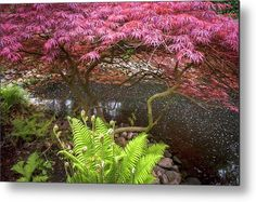 Acer Palmatum Crimson Queen and Fern Metal Print by Jenny Rainbow. All metal prints are professionally printed, packaged, and shipped within 3 - 4 business days and delivered ready-to-hang on your wall. Choose from multiple sizes and mounting options. Cool Photos, Beautiful Pictures, Acer Palmatum, Fine Art Prints, Framed Prints, Beautiful Flowers Garden, Any Images, Ferns, Botanical Gardens