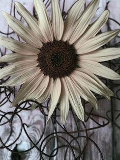 Sunflower by Pier Luigi Maschietto on 500px