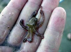 little baby octopus!
