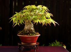 The Art of Bonsai Project - Feature Gallery: Shohin Bonsai