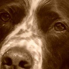 . Springer Spaniel Puppies, English Springer Spaniel, Cute Puppies, Dogs And Puppies, Doggies, Baby Animals, Cute Animals, Good Buddy, Irish Setter