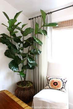classic • casual • home: Six Easy Care Indoor Plant Ideas. This is the one I want in far corner of area behind couch, in front of last 1 or 2 ivory-draped long windows, which line that exterior wall. Especially like shiny dark green foliage for this area of room.
