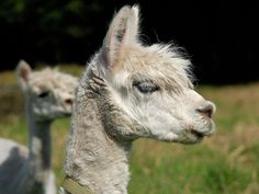 15 Drama Llamas Who Need Your Attention, Like, Right Now