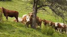 Am Biohof Zodlhofer Limousin, Cow, Animals, Farmers, Cattle, Wish, Shopping, Animais, Animales