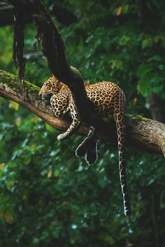 Leopard relaxing on the tree top in Kabini, India  by Suresh Kulur