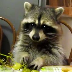 There's only one flaw in this otherwise cute video of a button-eyed raccoon dexterously eating grapes like he's people.