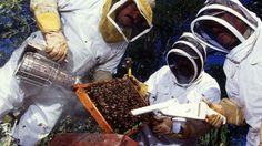 Águas de Pontal: As abelhas africanizadas fazem jus ao apelido de a...