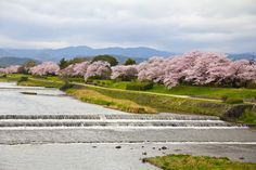 johnshlau posted a photo:  Walking leisurely along the riverbanks of Kamo River (Kamogawa 鴨川) was a pure joy, especially with the bonus of the charming cherry blossoms. Many local people came here to have picnics, bicycle rides, and simply to admire the beauty of the surrounding scenery. This is probably the most famous and arguably the most popular river in Kyoto.  I was so happy to have decided to come to Kamo River on my last day in Kyoto, reflecting on the beautiful moments experienced…