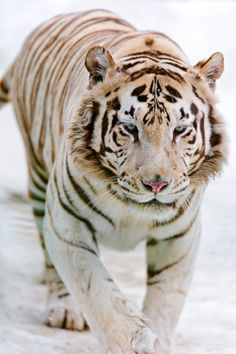 Beautiful they may be, but White Bengal Tigers are almost blind, are cross eyed and are a genetic mutation