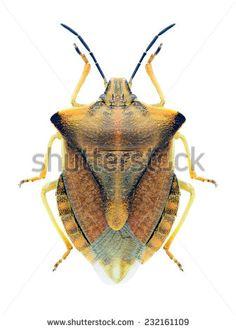 Pentatomidae Fotos, imagens e fotografias Stock | Shutterstock