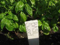 Sweet Basil (Ocimum basilicum). Image courtesy of The Aromatherapy Company