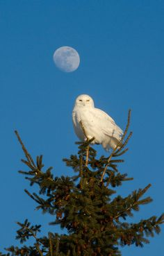 """williamsranch: """"Snowy Owl and the Moon by Bill McMullen on Flickr. """" Hedwig?"""