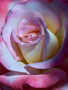 Rose by Leonid Amstibovitsky on 500px
