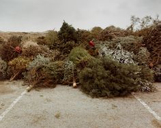 Peter Goin. Beaches. Discarded Christmas trees, temporarily stored here in the parking lot of the picnic area at Ft. Macon, North Carolina, ...