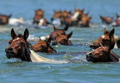 WILD PONIES- For almost a century, the Saltwater Cowboys of the Chincoteague Volunteer Fire Department have been wrangling up wild ponies and sending them on a 4-minute swim across the Chincoteague Channel, just off the coast of Virginia.