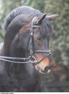 Westphalian stallion Arpeggio