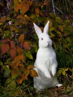 """New Zealand whites, one of the most difficult breeds to find homes for because of their """"freaky"""" red eyes! (Don't listen to the haters. They are very good-natured bunnies!)"""
