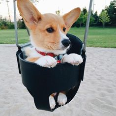 20 Cute Corgi Dog Pictures You Will Love Cute Corgi, Corgi Dog, Cute Puppies, Dogs And Puppies, Dog Cat, Baby Corgi, Teacup Puppies, Cute Baby Animals, Animals And Pets