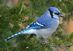 Blue jays will bury several acorns in a special place and come back to eat them later.