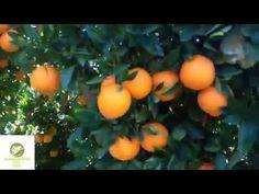 ΜΕΓΑΛΩΝΟΥΜΕ ΒΕΡΥΚΟΚΙΑ ΚΑΙ ΠΟΡΤΟΚΑΛΙΑ ΑΠΟ ΣΠΟΡΟ! - YouTube Fruit, Youtube, The Fruit, Youtube Movies