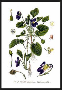 Las propiedades y usos medicinales de la Violeta ecoagricultor.com