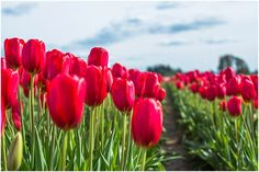 Wooden Shoe Tulip Festival - Woodburn, Oregon - Flower Farm Portraits - Tulipaloozapnw - Stevi Sayler Photography