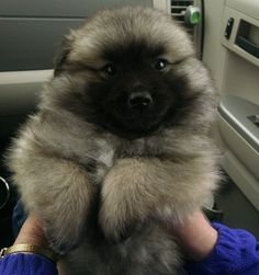 This keeshond puppy makes me squeeeee!!!!!