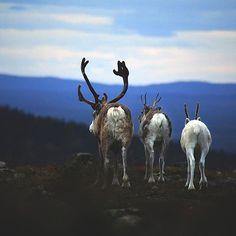Photo by Tommi Hynynen via tommihynyne instagram tommi@tommihynynen.fi Reindeer at Levi, Finnish Lapland. #lapland #visitlapland #visitfinland #finland #levi #kittilä #winterwonderland #reideer #tunturi #illaksikotiin #nature #finnishlapland