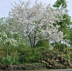 tuinbazaar.nl. Malus Evereste Big Garden, Garden Trees, 1 Image, Trees And Shrubs, White Trees, Island, Nice, Google, Flowers