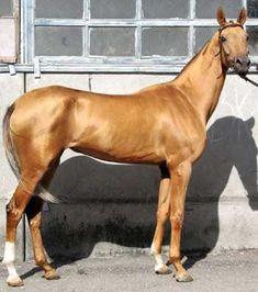 Un noch ein Pferd mit in der Sonne golden glänzendem Fell