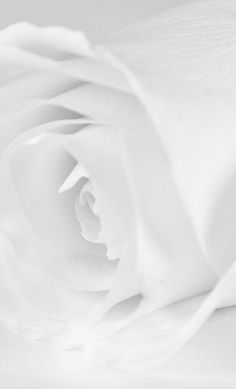 A beautiful white rose ~ #flowers #photography