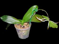 Keiki on a Phalaenopsis. Tips on how to care for a baby orchid forming on the old flower shoot of the mother plant. Orchids Garden, Orchid Plants, Air Plants, Garden Plants, Orchid Flowers, Flower Plants, Potted Plants, Container Gardening, Gardening Tips