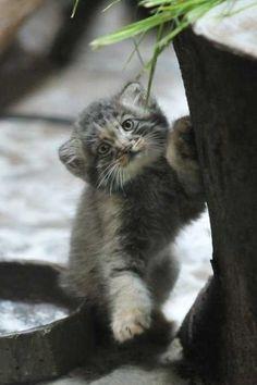 with a Pallas cat! Felis Manul, Manul Cat, Beautiful Cats, Animals Beautiful, Beautiful Creatures, Cute Baby Animals, Animals And Pets, Pallas's Cat, Kitty Cats