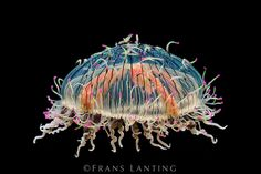 Flower Hat jelly, Olindias formosa, Monterey Bay Aquarium, California. Photograph by Frans Lanting