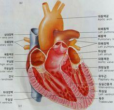 안에서 본 심장의 구조