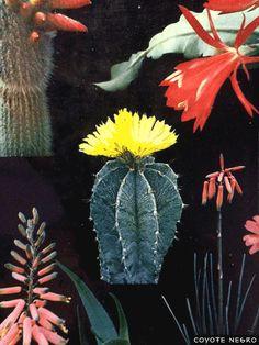 coyotenegro:  Cactus Psychedelia