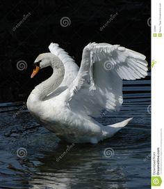 Danza del cisne