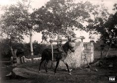 "El señor Baltasar Samper, autor de esta foto en el año 1932, asegura que se trata de un ""ase o somera fent girar un molí a Son Grau, en Campanet"". ¿1932 before Madonna? Cortesía: Fotografías antiguas de Mallorca, Islas Baleares (España)."