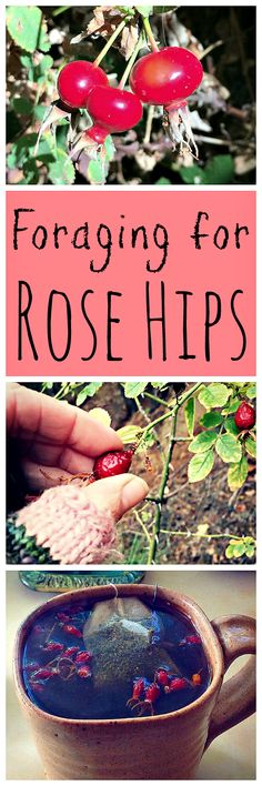 Rose hips are the tart fruit of roses, and are usually easy for forage!