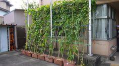 公民館のなたまめグリーンカーテンの様子です かぼちゃやトマトと一緒に植えられており いろいろな実がなっていました