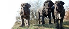 a pack of Neapolitan Mastiff Breeders | distinctive look of the neapolitan mastiff without losing any of the ...