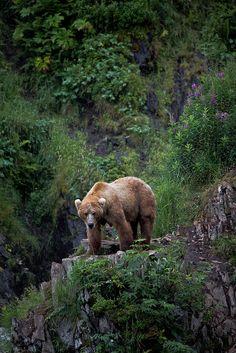 Kodiak Bear, Kodiak Island, Alaska A Bear on Kodiak Island in Kodiak, Alaska. Kodiak, Alaska has lots & lots of bears! Nature Animals, Animals And Pets, Cute Animals, Wild Life Animals, Bear Pictures, Animal Pictures, Ours Grizzly, Grizzly Bears, Kodiak Island
