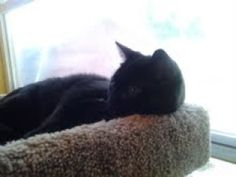Rupert is an adoptable Domestic Short Hair-Black Cat in Muncie, IN. Rupert is one of two cats (the other is Cochran) that was dumped at ARF in the last week. Poor Rupert was found early one morning i...